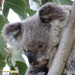 daydreamer by koalagardens
