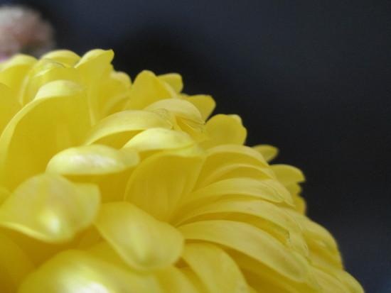 chrysanthemum by jmj