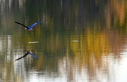26th Oct 2016 - Blue Heron on Autumn Colored Waters