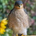SPARROWHAWK by markp