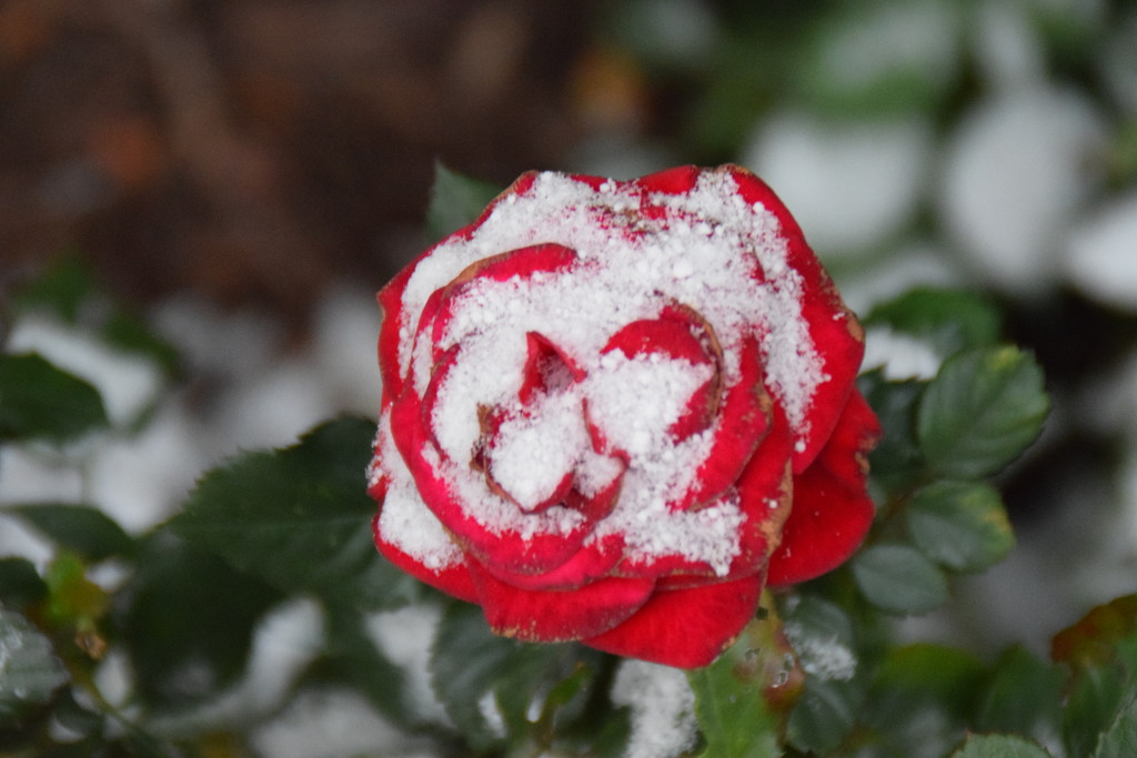 A rose kissed by the snow   by bruni