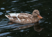 27th Oct 2016 - Mill Pond Duck