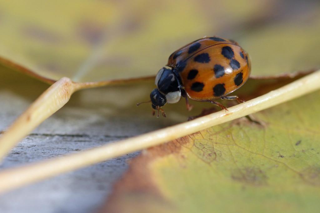 Ladybug on Leaf by gaylewood