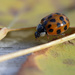 Ladybug on Leaf by gaylewood