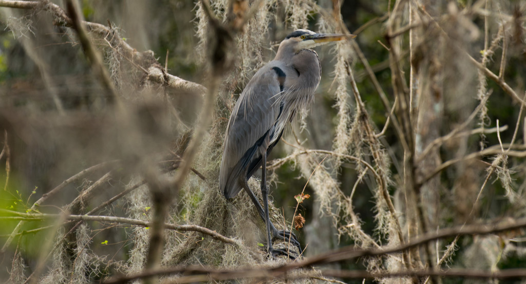 Blue Heron Resting! by rickster549