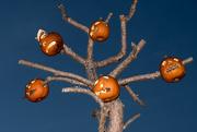 28th Oct 2016 - Pumpkin tree is back...