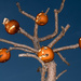 Pumpkin tree is back... by dridsdale