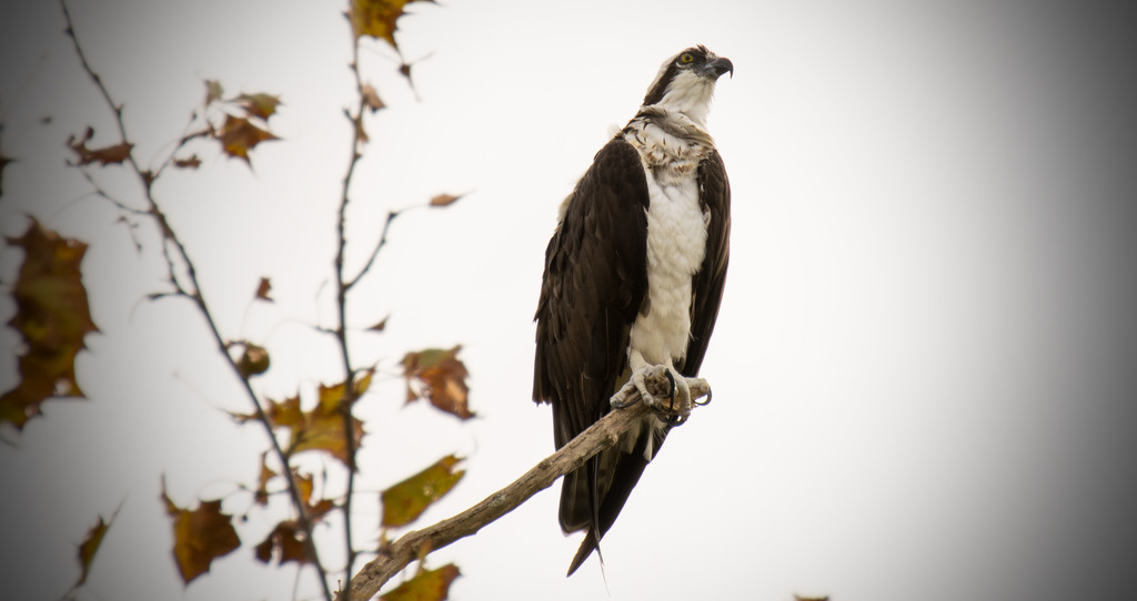 Osprey Looking Over the Streets of St Augustine! by rickster549