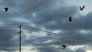 29th Oct 2016 - The birds are coming to get us