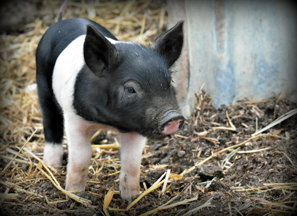 A cute little porker  by rosiekind