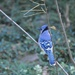 Beautiful Blue Jay by frantackaberry