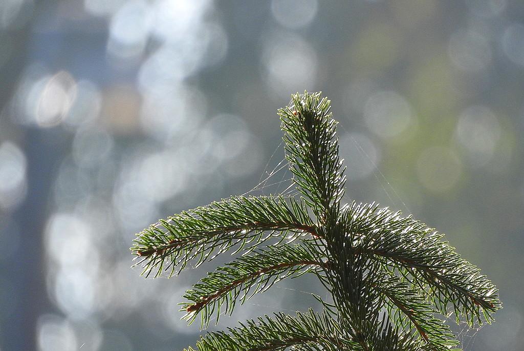 Pine Bokeh by homeschoolmom