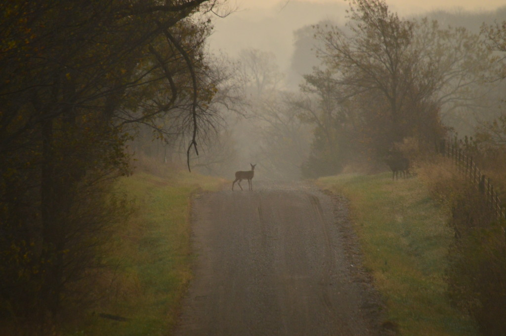 Deer on Foggy Country Road by kareenking