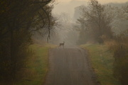 28th Oct 2016 - Deer on Foggy Country Road