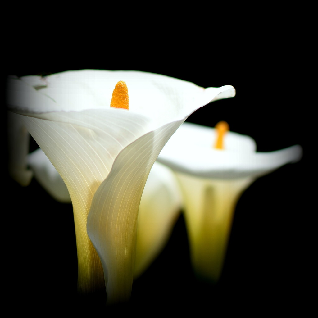 Arum Lillies by nickspicsnz
