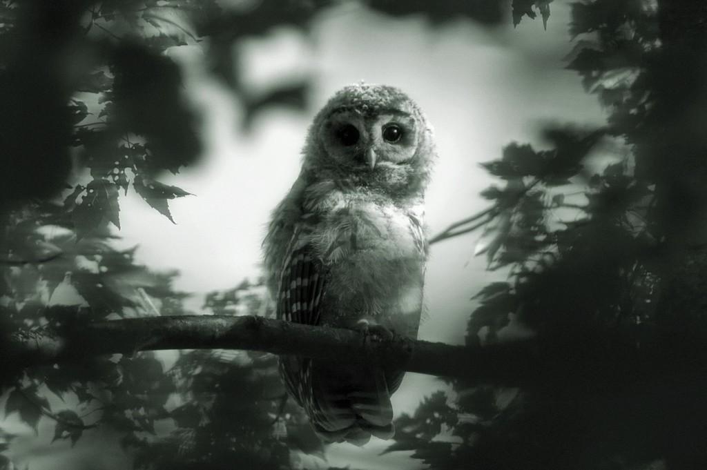 Spooky Owl by dianen