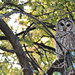 Barnaby the Barred Owl  by mej2011