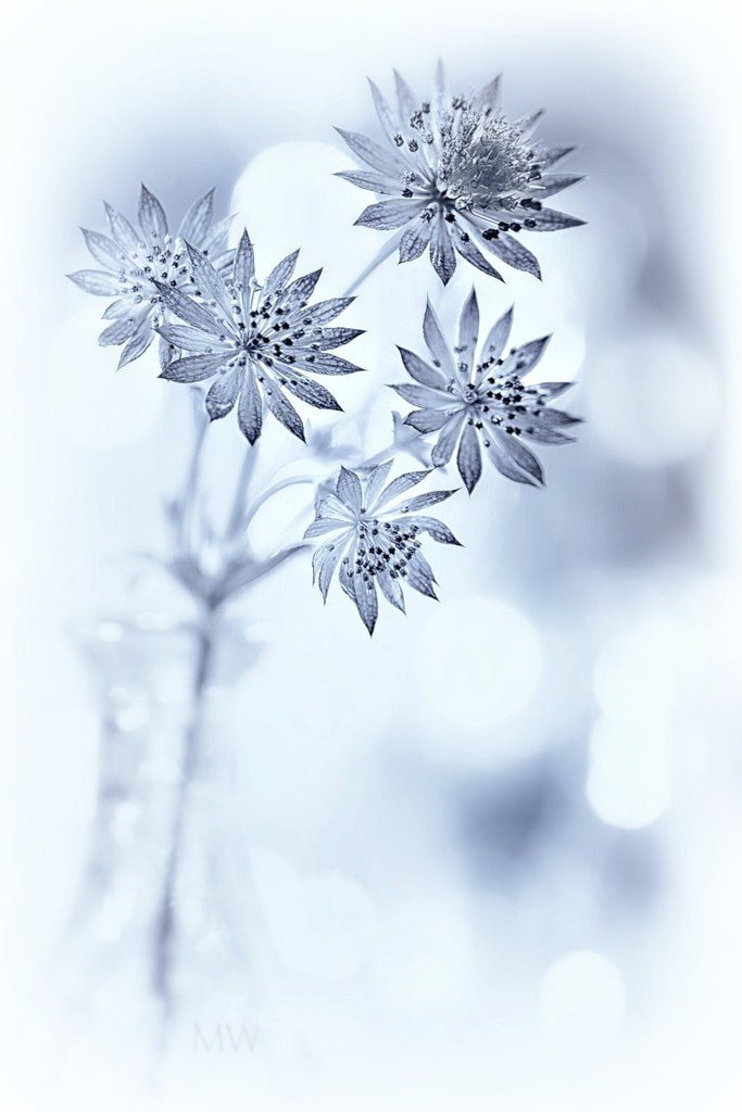 2016-10-31 astrantia by mona65