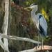Blue Heron Guarding I'ts Tree! by rickster549