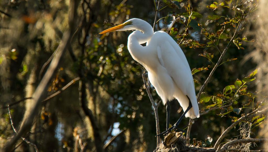 Egret! by rickster549