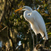Egret! by rickster549