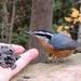 Friendly Nuthatch by sunnygreenwood