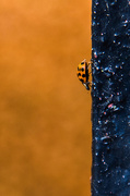 31st Oct 2016 - Invasion of the ladybirds