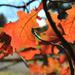 Behind a sunny Oak Leaf by loweygrace