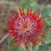 Banksia by gosia