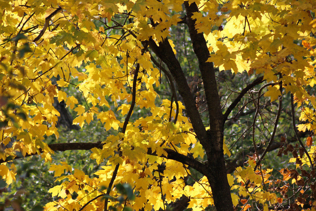 Maple tree by mittens