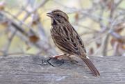 1st Nov 2016 - Song Sparrow