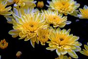 2nd Nov 2016 - Sea of Chrysanthemums