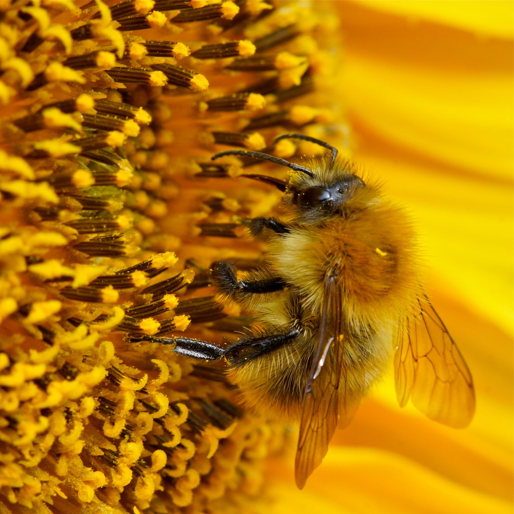 BUMBLE BEE ON SUNFLOWER by markp