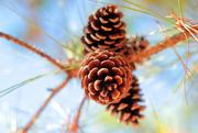 2nd Nov 2016 - Pinecones Make Me Think of Winter