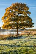 2nd Nov 2016 - Tree of Gold