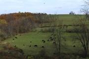 3rd Nov 2016 - Grazing in the field