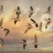 Pelicans, Pelicans, Pelicans.... by mikegifford