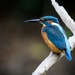 Male Kingfisher-best on black by padlock