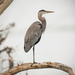 One Legged Blue Heron! by rickster549
