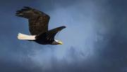 4th Nov 2016 - Flying Bald Eagle