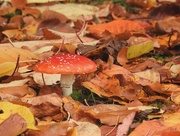 4th Nov 2016 - Fly Agaric and Fallen Leaves