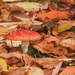 Fly Agaric and Fallen Leaves by roachling