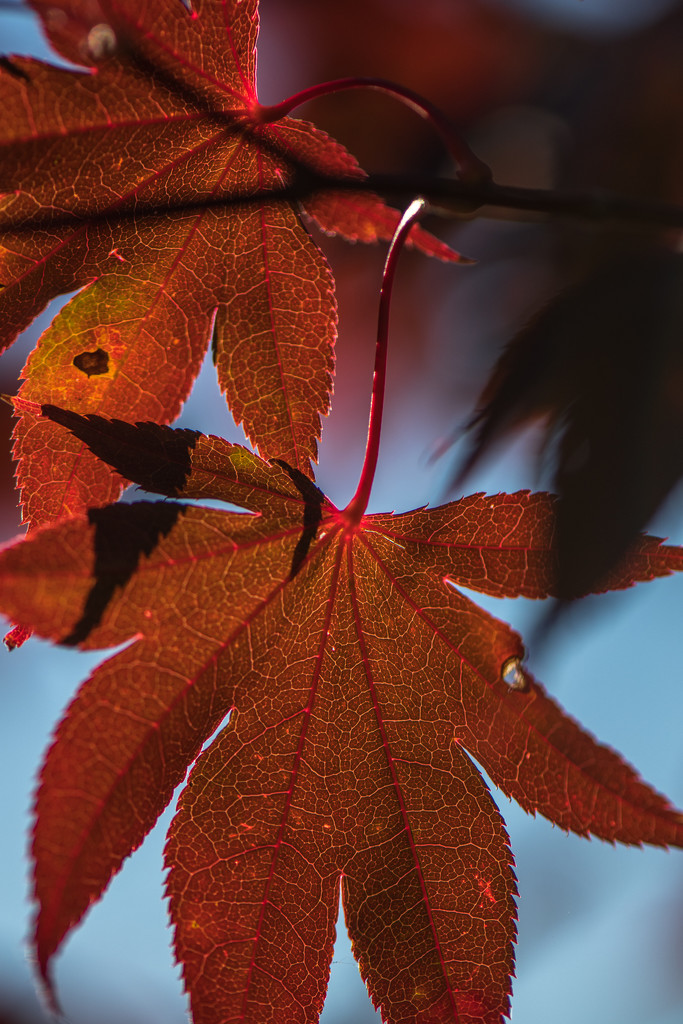 Evening light on Chinese Maple by dridsdale