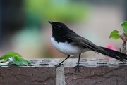 5th Nov 2016 - Willie Wagtail