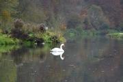 5th Nov 2016 - Swan