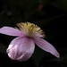 Clematis flower by maureenpp