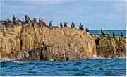 6th Nov 2016 - A Cormorant Colony On The Farne Islands