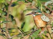 6th Nov 2016 - Leaf photobombed by Kingfisher!!!