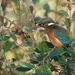 Female Kingfisher. by padlock
