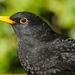 BLACKBIRD PORTRAIT by markp